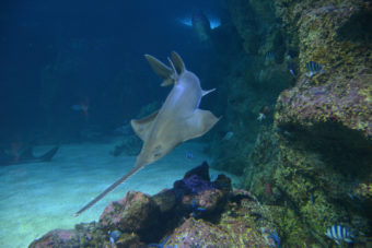 photo of a sawfish in deep blue water surrounded my coral