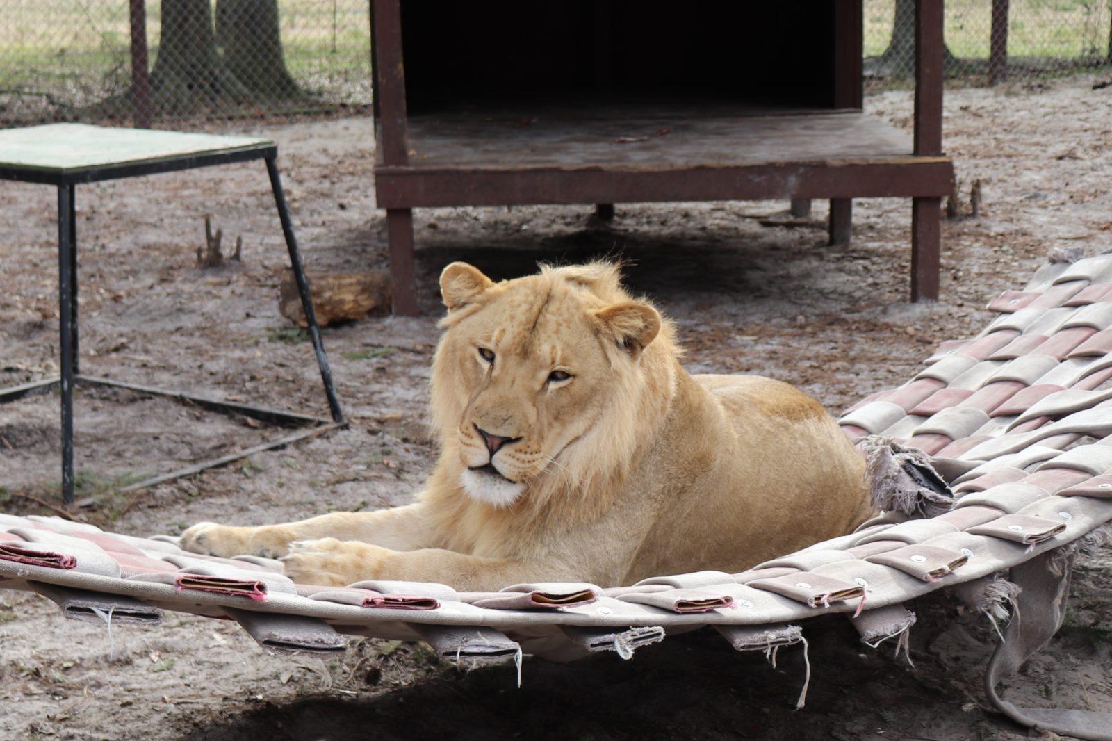 lion on a hammock