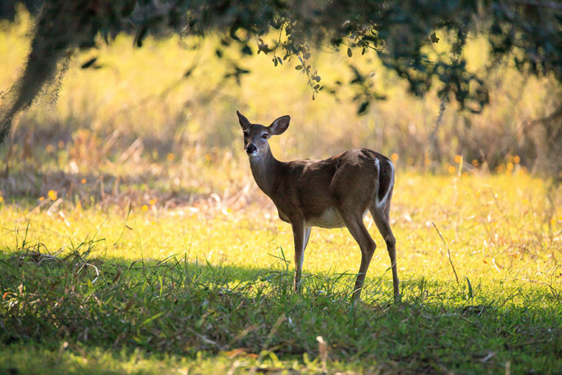 Keep Florida's Hunting Grounds CWD-free