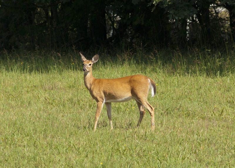 brown deer in a field