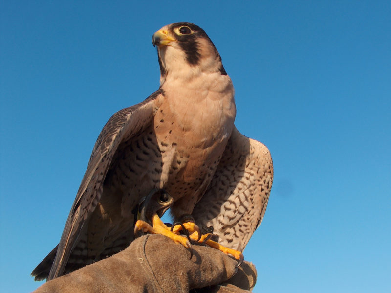 Falcon on a glove